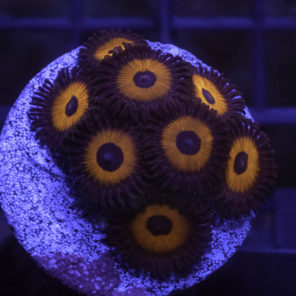Zoanthus keed red ZO03 frag